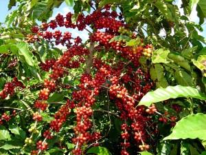 planta-cafe